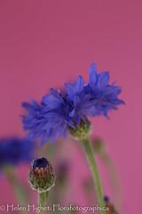 IMG_8297 (Florafotographica) Tags: 2016 flowers cornflowers