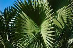 IMG_0029_1 (pavel.milkin) Tags: light green leaves eco helios 442 helios442 helioslens