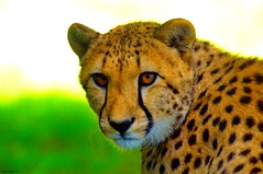 Gupard (Phil du Valois) Tags: gupard flin parcdesflins cheetah