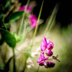 Arrival II (iEiEi) Tags: plant flower closeup insect nikon dof blossom outdoor pflanze depthoffield nikkor blume blte insekt nahaufnahme schrfentiefe d300 nikond300 ausenaufnahme 35mmf18g ieiei