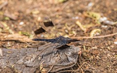 PGC_8525-20151020 (C&P_Pics) Tags: southafrica dragonfly za kwazulunatal pgc mkuze insectsandspiders nsumopan stluciapark southafrica2015