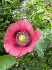 Garden poppy (bryanilona) Tags: flower garden figtree redpoppy citrit
