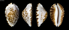 Zoila ketyana bataviensis (GaboUruguay) Tags: gold golden marine shell snail australia collection exotic rare dier animale animalia mollusca gastropoda gastropod loom rara tier nga elin kewan mollusk cowrie dabba djur anifeiliaid zoila besto kety biby dr zve cypraea annimali exotico cowries zwierz haiwan zviera vt malacology conchology kararehe cypraeidae cypraeoidea hypsogastropoda caenogastropoda llati wanyama gyvnas kafsh xoolaha dierlijk ainmhithe littorinimorpha mananap chinyama ketyana bt cypraeinae dzvnieks tsiaj raybaudi gabouruguay anman eranko phoofolo