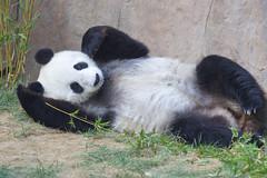 Bai Yun - San Diego Zoo (Rita Petita) Tags: baiyun sandiegozoo sandiego california china panda giantpanda specanimal