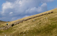 la diagonale du berger (2) (b.four) Tags: troupeau gregge flock berger shepherd pastore vauplane soleilhas alpesdehauteprovence ruby3