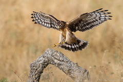 Atterrissage en douceur. (DorianHunt) Tags: henharrier birds bokeh spain july 2016 wwwhidesdecaleracom nikond7200 sigma 150600mm