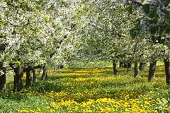 ckuchem-1289 (christine_kuchem) Tags: wiese blte frhling lwenzahn obstbaum frhjahr obstbume streuobstwiese streuobst bltezeit streuobstwiesenweg