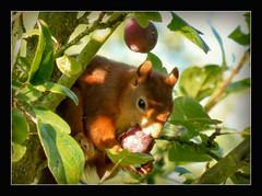 Guten Morgen, (karin_b1966) Tags: tree nature animal garden squirrel natur plum garten baum tier eichhrnchen 2016 pflaume yourbestoftoday