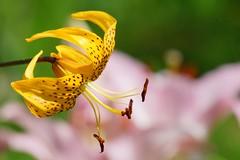 /Lilium henryi baker (nobuflickr) Tags: 20160702dsc03840  lilium henryi baker  japan flower kyoto thekyotobotanicalgarden nature    awesomeblossoms