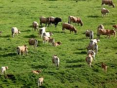 Le taureau (brigeham34) Tags: rando cheminsdecompostelle viapodiensis gr65 domainelesauvage campagne prairiesfleuries vallonnements troupeau vaches veaux taureau raceaubrac chnerailles margeride hauteloire auvergne france fz45 eu