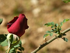 Red rose (anastasia_ania) Tags: red rose reds redrose flower odour smell park parc nature tree trees blossom green