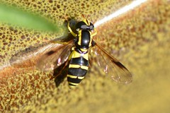 Xanthogramma pedissequum (suekelly52) Tags: xanthogrammapedissequum hoverfly diptera fly waspmimic