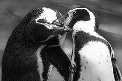 Kiss me (_Papyrus) Tags: krefeld flickr flickr2016 facebook zoo facebook2016 pinguine tiere zookrefeld