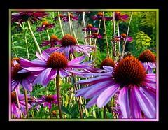 Echinacea auf der Insel Mainau (almresi1) Tags: sonnenhut echinacea blumen flowers bodensee inselmainau