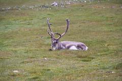 Svalbard Reindeer at Alkepynten IMG_9438 (grebberg) Tags: alkepynten alkhornet spitsbergen svalbard july 2016 rangifer rangifertarandusplatyrhynchus reindeer mammal svalbardreindeer rangifertarandus