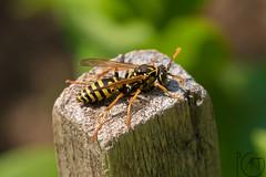 Macro (pg_art) Tags: macro insect insects closeup wildlife bugs macroworld dreams bee bees