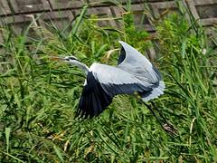 Grey heron () (Greg Peterson in Japan) Tags: birds yasu rivers shiga egretsandherons wildlife oyamakawa japan shigaprefecture jpn