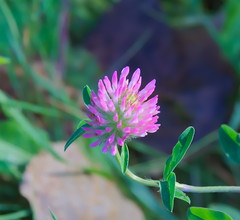 SUMMER FLOWER (aminekaytoni) Tags: summer flower automn exterieur nature 50mm canon canon50d ngc belgium leuven brussel