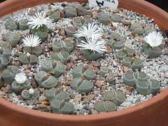 DSCF0390 (BobTravels) Tags: plant stone bob lithops lithop messem bobwitney