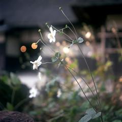 omiya59nc-film66 (yaplan) Tags: film japan ikoflex memory 66
