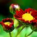 Crimson Florists' Daisy (Varieties Unknown) / 小菊(品種不明)