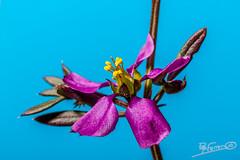 Fagonia cretica (Pep Ferrer) Tags: españa familia alicante l es plantae sella orden magnoliopsida zygophyllaceae género florazul gmt1 fagonia zygophyllales reinovegetal biodiversidadvirtual indicarenlossitiosquesehapublicado httpwwwbiodiversidadvirtualorgherbariumsearchphpsearchuserid14075 httpwwwbiodiversidadvirtualorgherbariumsearchphpsearch magnoliophytaangiospermae carlvonlinneo fcretica