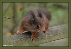 Red Squirrel (maryimackins) Tags: red squirrel wildlife centre mary surrey british mackins