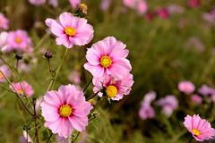 Bloming flowers on 11 novembre. (Snoek2009) Tags: flower nature field camino blumen jacobspad natureselegantshots thebestofmimamorsgroups mixofflowers roldewesterbork uithuizenhasselt