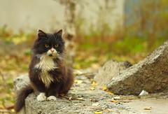 wild kitten (TheDeepestPurple+) Tags: cat kitten pentax 58mm k5 helios 2014 tommycat helios44m658mmf2 helios44m6f2058mm