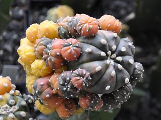 Astrophytum asterias nudum variegata 2