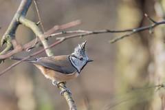 Haubenmeise (Lophophanes cristatus) (Matthias.Kahrs) Tags: bird birds canon matthias vögel vogel kahrs haubenmeise