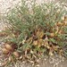 White Mountains paperpod, Astragalus lentiginosus var. semotus