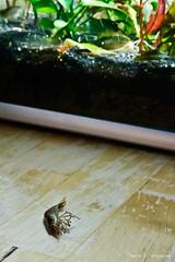 Bad idea ! (Paulo S. Gonalves) Tags: dead ma idea bad shrimp morte japonica vasion mauvaise morta crevette camarao ideia evasao caradina idee