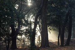 AI1A7099 (arcaswiss) Tags: trees light shadow sun sunlight mist misty fog forest t gold tokyo woods scenery ray glare path walk foggy fantasy shining sunbeam glaring
