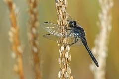 Sympetrum danae (Black Meadowhawk), Swan Lake, Yukon. 8 Oct 2012. (Cameron Eckert) Tags: colour cute nature beauty insect wings natural dragonfly flight yukon organic wilderness predator climatechange wetland ecological ecosystem biodiversity odonata
