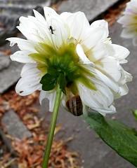 100_9198 (Cassiope2010) Tags: dahlia nature fleur plante escargot fourmi cvennes