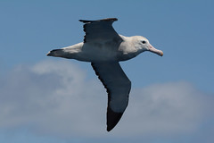 Wandering Albatross 2 (Diomedea exulans) (Keefy2014) Tags: wandering albatross diomedea exulans