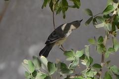 Sun Bird 09 (philjbtorres) Tags: bird yellow photography nikon sunbird yellowbird smallbird yellowbelliedsunbird nikond5100