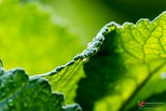 Verde  vida. (MARCOS MATTOS Fotografia) Tags: verde braslia natureza orvalho marcosmattosfotografia