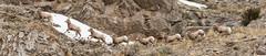 Bighorn_Sheep_Lamb_Pano (DawnWilsonPhotography) Tags: fall animal wildlife jackson wyoming bighorn refuge nationalwildliferefuge bighornsheep elkrefuge nationalelkrefuge millersbutte