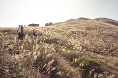 Golden Miscanthus (mikemikecat) Tags: nature landscape hongkong golden scenery hiking sony voigtlander miscanthus  sunsetpeak  a7r vm21