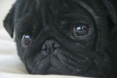DSC_0243 (perri.sasha) Tags: portrait dog cute cool funny pug