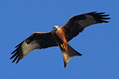 In the line of sight (Treflyn) Tags: uk red wild england food kite bird garden reading for back search wildlife united over kingdom raptor prey berkshire earley soars