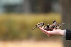 Handfull of Birds (akurashashin) Tags: