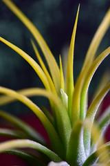 Tillandsia (Lynn Wen (pandadd)-BUSY!) Tags: macro nature tillandsia druid ionantha airplant naturemacro blooming 105mm afsvrmicronikkor105mmf28gifed