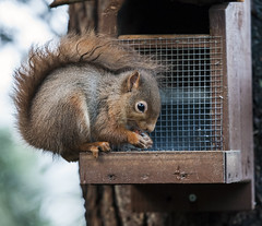 Little Red (deedaw) Tags: red canon scotland squirrel tail nuts feeder peanut tufts littlered lossiemouth 1dmkiii 70200l28isii