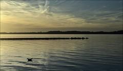 gold (liebeslakritze) Tags: sunset gold golden sonnenuntergang seagull calm balticsea mwe ostsee windstille