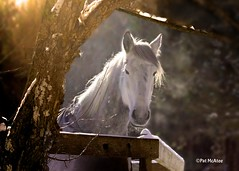 A Friendly Morning Greeting (Patricia McAtee - Photos of Maine) Tags: morning light horses horse maine horsefarm mainewinter bej