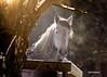 A Friendly Morning Greeting (Patricia McAtee - Photos of Maine) Tags: morning light horses horse maine horsefarm mainewinter bej