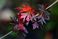 Last Remaining Colours (AnyMotion) Tags: winter red rot nature leaves garden leaf colours bokeh frankfurt ngc laub natur npc geranium blatt bltter cranesbill 6d 2015 storchschnabel anymotion canoneos6d